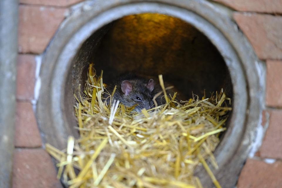 Мышь в ливневой канализации